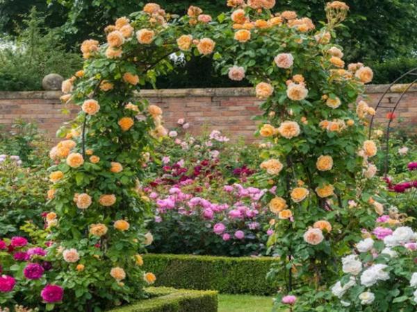 Розы кустовые уход и выращивание 77