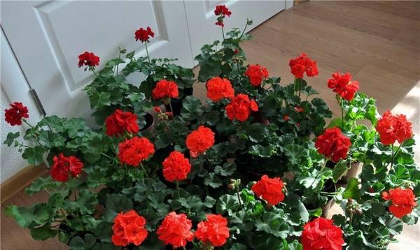 Герань из семян  выращиваем всеми любимый цветок с фото