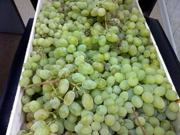 Посадка и уход за высокоиммунным сортом винограда Августин