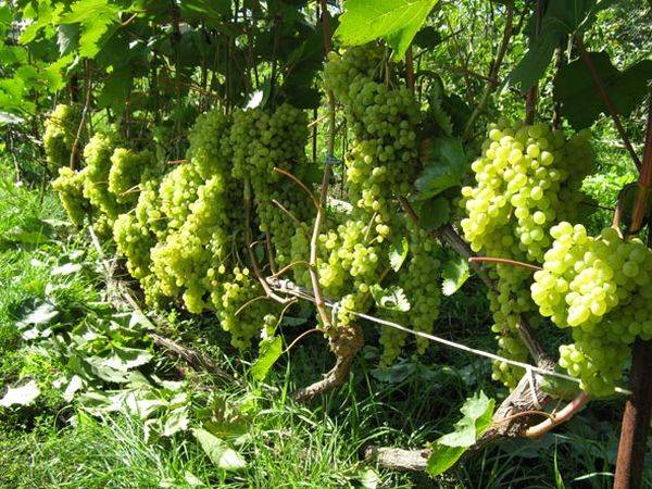 Посадка и уход за лучшими сортами винограда в Ленинградской области